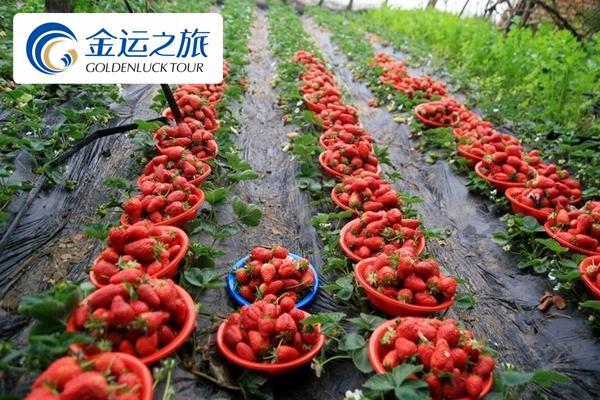 杨城寨草莓采摘+地藏寺+六合生态园+辽宁省博物馆一日游